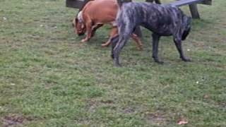 Cane Corso And Dogue De Bordeaux