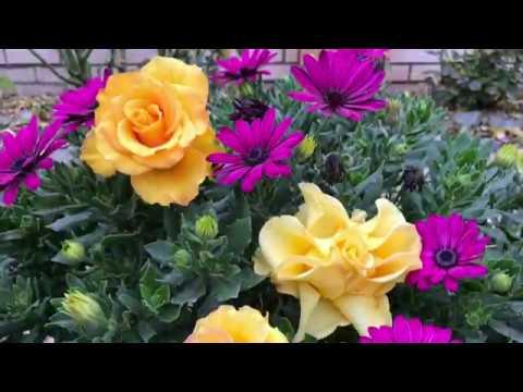Цветущие все лето! Остеоспермум Диморфотека Катарантус