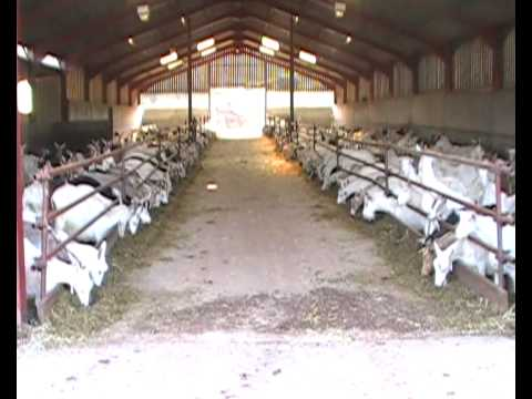 Goat farm visit - YouTube