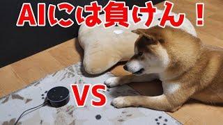 【京の柴犬】てんちゃん、雨の日にEchoで遊ぶ! 太郎の犬モノガタリ#105 thumbnail