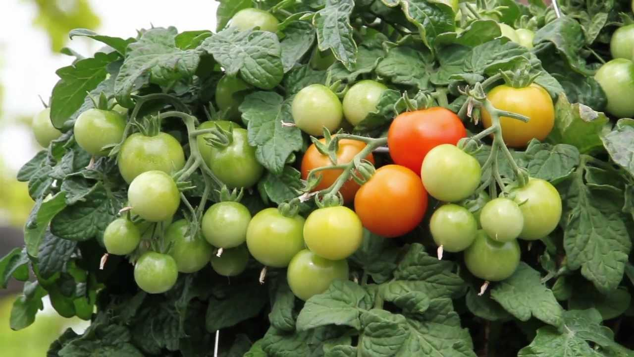 Growing cherry tomatoes in pots - Vegetable Series Tomato Hanging Baskets And Trailing Tomato Arrangements Youtube