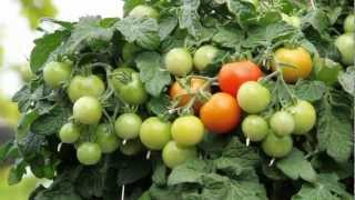 Vegetable Series: Tomato Hanging Baskets and Trailing Tomato Arrangements