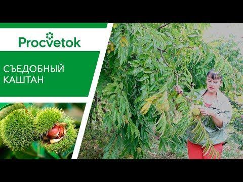 КАШТАН СЪЕДОБНЫЙ - вкусная экзотика в саду! Вырастет и у вас!