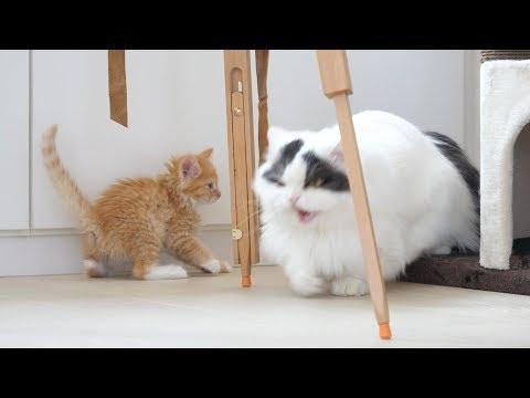 순둥이 고양이 쵸비가 백번 하악한 날