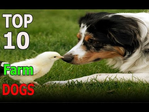 Top 10 Farm dog breeds | Top 10 animals
