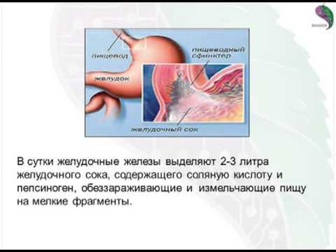 Хеликобактериоз – причины и симптомы хеликобактериоза