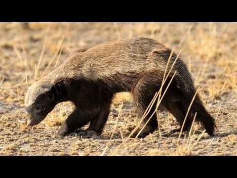 Wildlife Action - Kalahari Desert - Botswana - November 2012