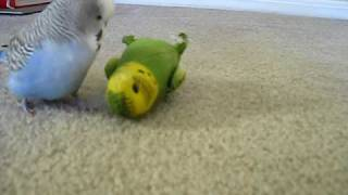 Dieter the Budgie 17