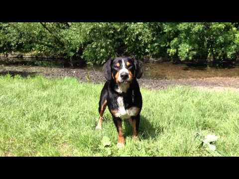 Lets Go Swimming! Alfie the Entlebucher Mountain Dog shows the way!
