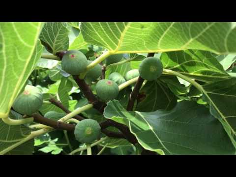 french fig farm: Young Black Madeira Figs on Our Mother Trees