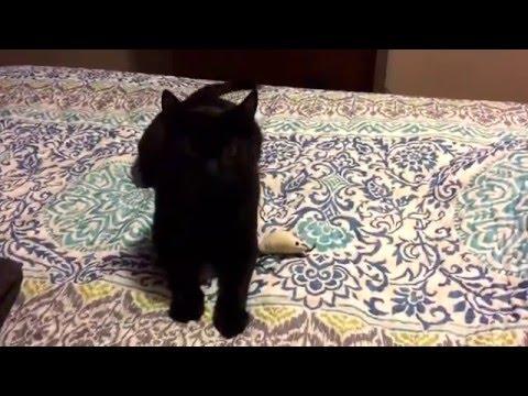 "Bombay Cat being himself ""BatCat"""