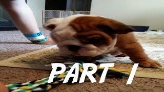Bere's Bulldog Adventures Part 1 - Bere Comes Home
