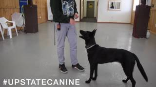 How to teach your dog to sit, stand, stay America's Canine Educator