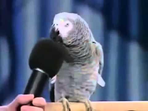 Burung Lucu dan Pintar Peniru Suara, bikin ketawa dan kagum