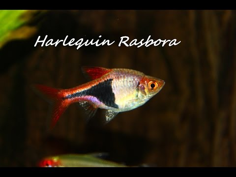 HARLEQUIN RASBORA, FRESHWATER COMMUNITY FISH