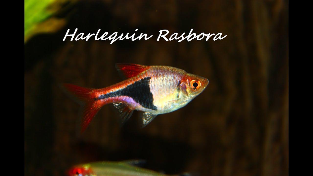 Freshwater aquarium fish rasbora - Harlequin Rasbora Freshwater Community Fish