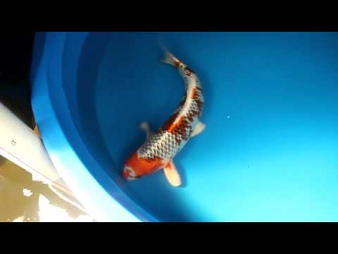 Trinidad Koi- Living Jewels Farm- lj 3519