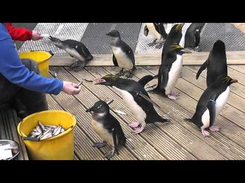 The Penguin Enclosure with Zookeeper VO: Feeding Time // Living Coast, Torquay // [SPK] Projects