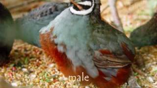 Asian blue or Chinese Painted Quail with sound