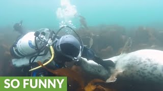 Friendly seals play with scuba divers in Farne Islands