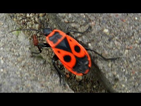 Красный Клоп Солдатик. Видео с насекомыми. Pyrrhocoris apterus. Футажи для видеомонтажа. Футажи лето