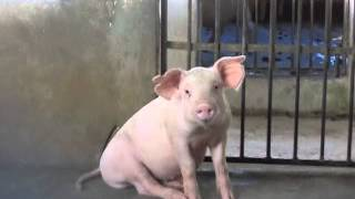 Download sexy pig.!!!! MP3 song and Music Video
