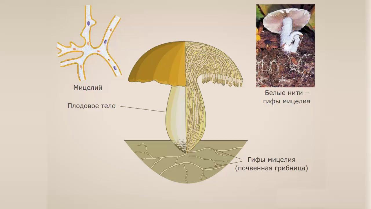 Общие сведения о грибах