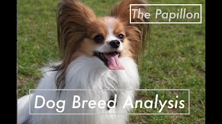 Dog Breed Analysis: The Papillon  Dog Facts