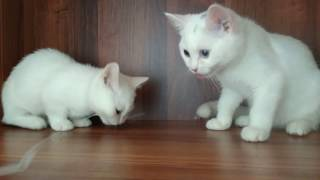 MUNCHKIN kittens  white color .котята Манчкин белые   с разными глазами
