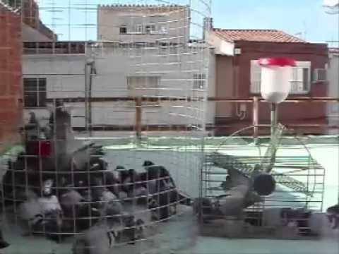 Jaula trampa para palomas youtube for Jaulas para cria de peces