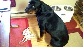 Rottweiler Gets Caught And Is Very Sorry