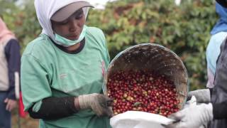 Agro Tourism - The Cultivation and Processing of Arabica Coffee in PTPN XII