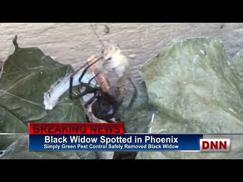 News Black Widow Spider Phoenix Arizona