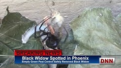 News Black Widow Spider Phoenix Arizona