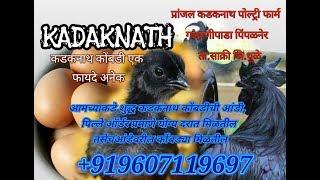 कडकनाथ कोंबडीचे ओरिजीनल अंडे कसे असतेorignal kadaknath kombdi eggs live