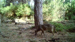 Ecco i l lupi alla Feniglia: le immagini delle fototrappole