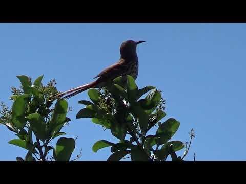 Brown Thrasher Bird Sings Close-up View Florida