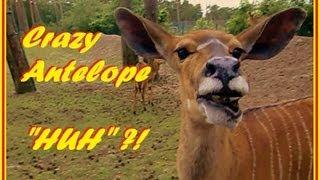 Huh ?!?! Crazy funny talking antelope verrückte lustige Antilope