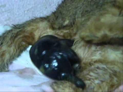 kucing beranak (a cat giving to kitten)