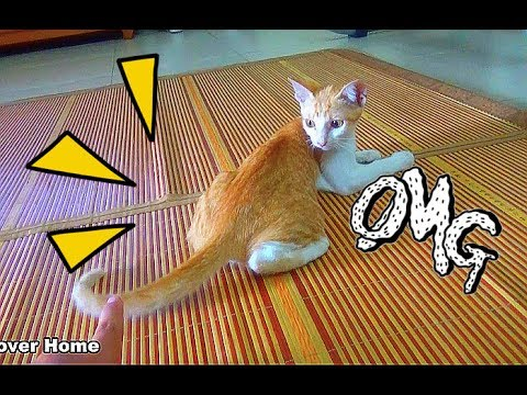 Cat Playing With Her Tail So Crazy And Funny | Funny Cat Vines 2017 | Meo Cover Home