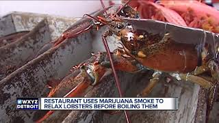 Fishmonger offers lobsters marijuana trying to make cooking them more humane