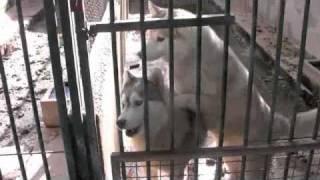 Siberian Husky Kennel Mallorca Spain Pt. 3