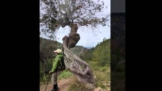 Испания. Оливковые деревья(Оливковые деревья или нерукотворные скульптуры., 2015-05-06T09:54:47.000Z)