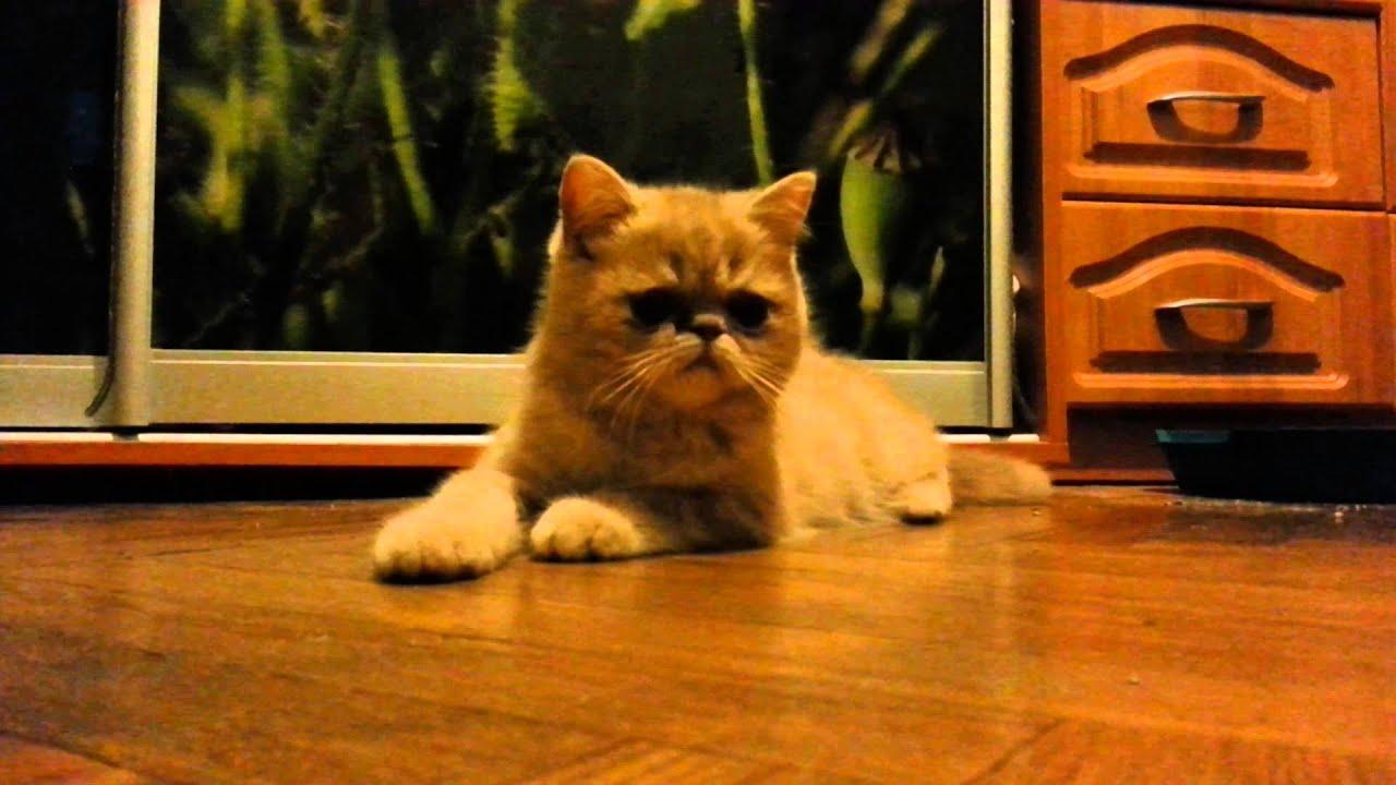 экзот кот фото рыжий
