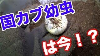 こんにちわ!なぁたんです! 国産カブトムシの幼虫をちらと見てみました...