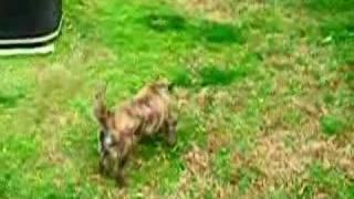 Melanie Cairn Terrier