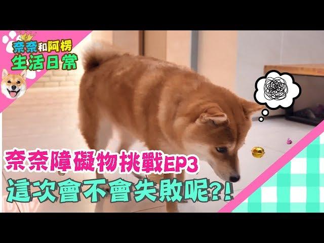 【柴犬Nana(奈奈)】奈奈障礙物挑戰EP3 這次會不會失敗呢?!