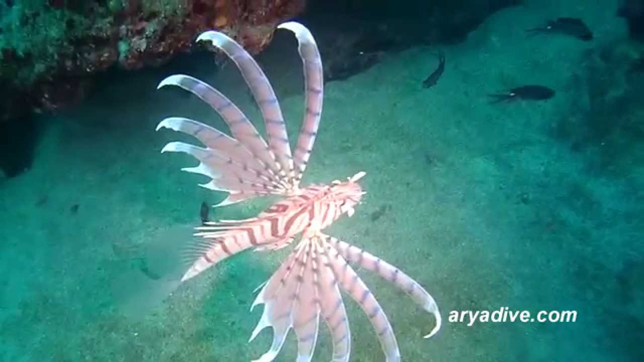 (양)쏠배감펭#1(Pterois lunulata)~ Luna lion fish,Dragon's beard ...
