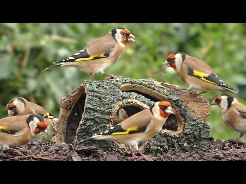 Goldfinch Bird Extravaganza - Birds at The Special Log