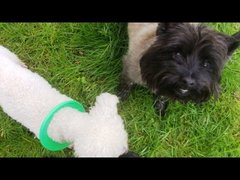 Cairn Terrier Billy & Bichon Peppa.